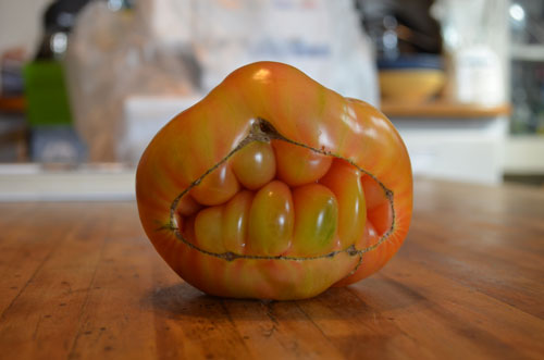 Catfaced tomato (Cheshire variety). Photo © copyright 2013 by Anna Lung.