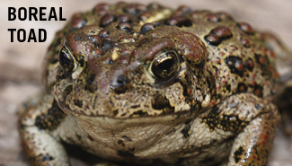 Boreal toad photo courtesy Flickr/Creative Commons, J. N. Stuart
