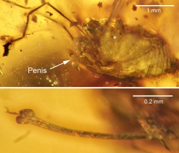 Harvestman in amber, courtesy The Science of nature