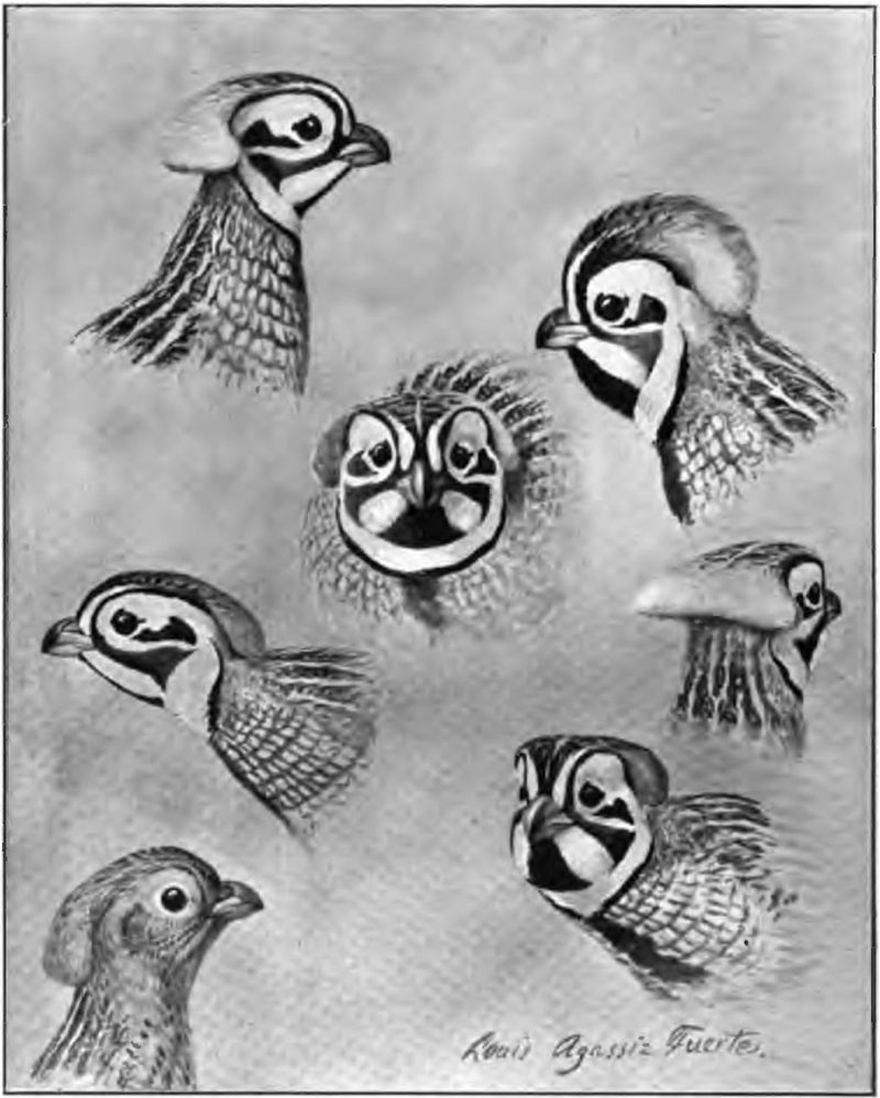 """Montezuma quail,"" drawing by Louis Agassiz Fuertes, 1903"