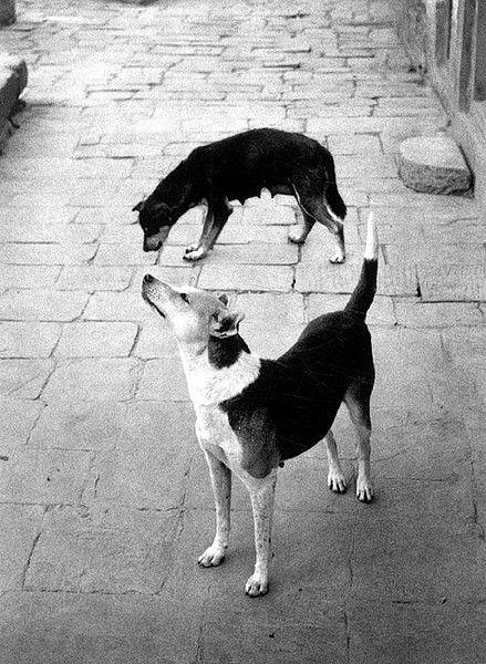 """Pentti Sammallahti, """"Dogs Standing,"""" 1994"""